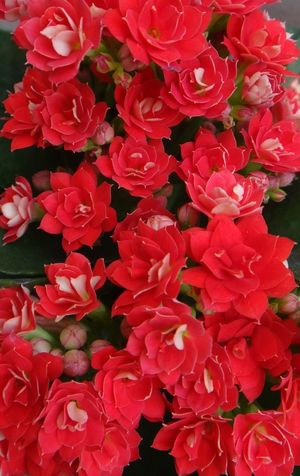 Backgrounds Beauty In Nature Bloom Blooming Christmas Kalanchoe Close-up Day Flaming Katy Floral Florist Kalanchoe Flower Flower Head Fragility Freshness Full Frame Growth Kalanchoe Nature No People Outdoors Petal Plant Red Relaxing Widow's-thrill