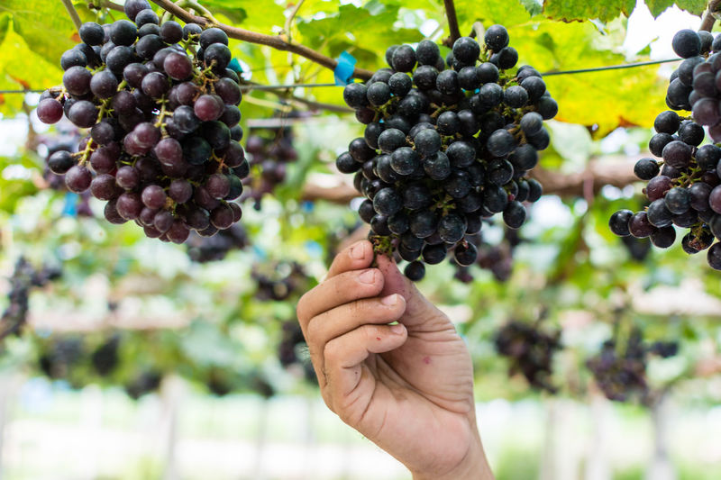 Close-up of hand picking red grapes growing in vineyard
