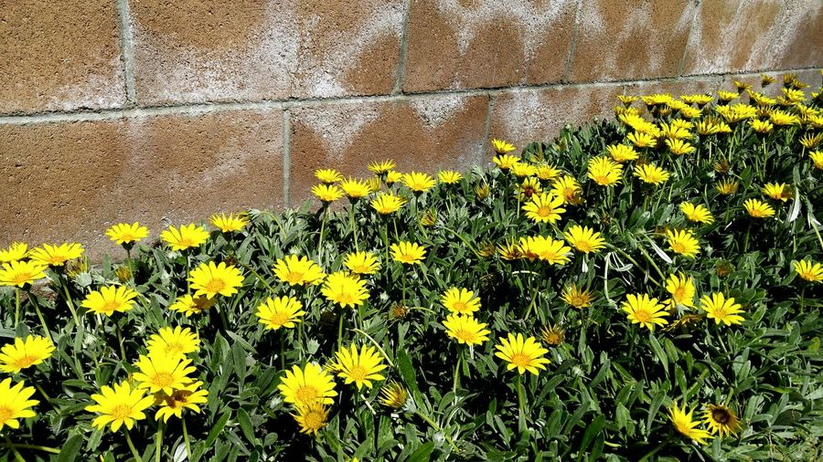 Beauty In Nature Blooming Bricks Flower Flower Head Fragility Freshness Green Growing Growth High Angle View Nature No People Outdoors Outside Petal Wall Yellow Taking Photos Eye4photography  By A Wall Brick Wall Getty X EyeEm Getty Images Paint The Town Yellow