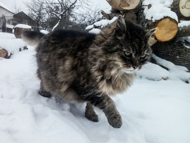 Winter Snow Snow ❄ Feline Feline Portraits Grey Snow Winter Cold Temperature Domestic Cat Pets One Animal Domestic Animals Close-up Nature No People Mammal Animal Themes Outdoors Day Field
