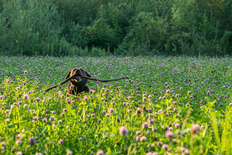 Brown labrador running through the field Nature Beauty In Nature Flower Field Grass Freshness Green Color Animal Labrador Labrador Retriever Animal Themes Dog One Animal Running Stick Fetch Fetching The Stick Pet Portraits Stay Out
