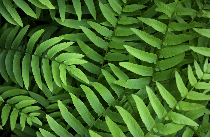 Fern pattern Backgrounds Close-up Day Fern Freshness Full Frame Green Color Growth Leaf Nature No People Outdoors Plant