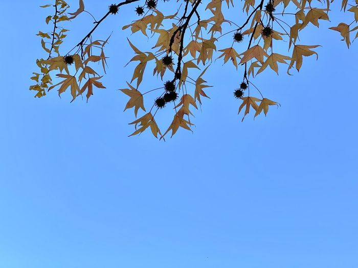Low angle view of maple leaves against clear blue sky