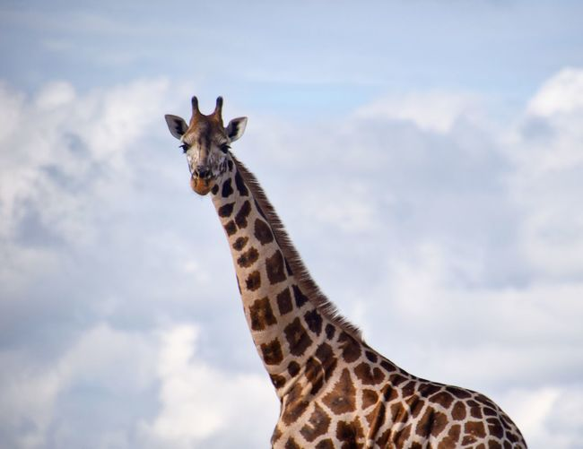 Low angle view of giraffe against cloudy sky