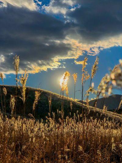 風にゆらゆら。That is shaking from the wind. Pampas Grass Backlight Sunset Silhouettes Sunset Sky Tranquil Scene Nature Growth Tranquility No People Beauty In Nature Field Scenics Cloud - Sky Plant Outdoors Landscape Tree Day Sunset Rural Scene Grass