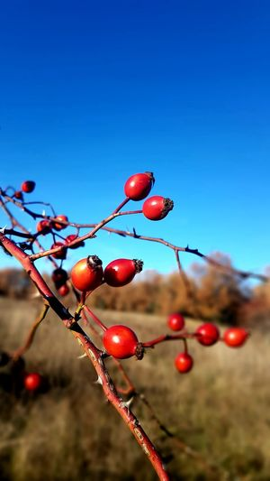 Close-up of red berries growing on tree against blue sky