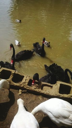 High Angle View Water Bird Nature Animals In The Wild Outdoors Black And White Swans