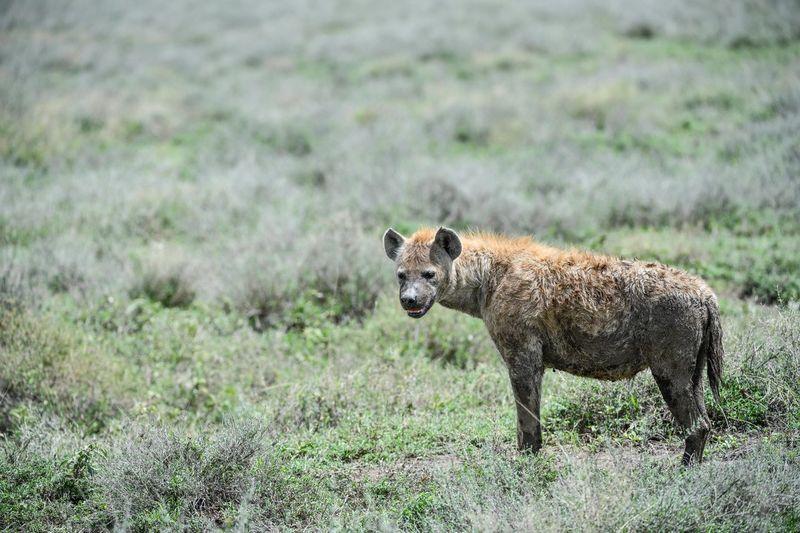 Hyena standing on grassy land