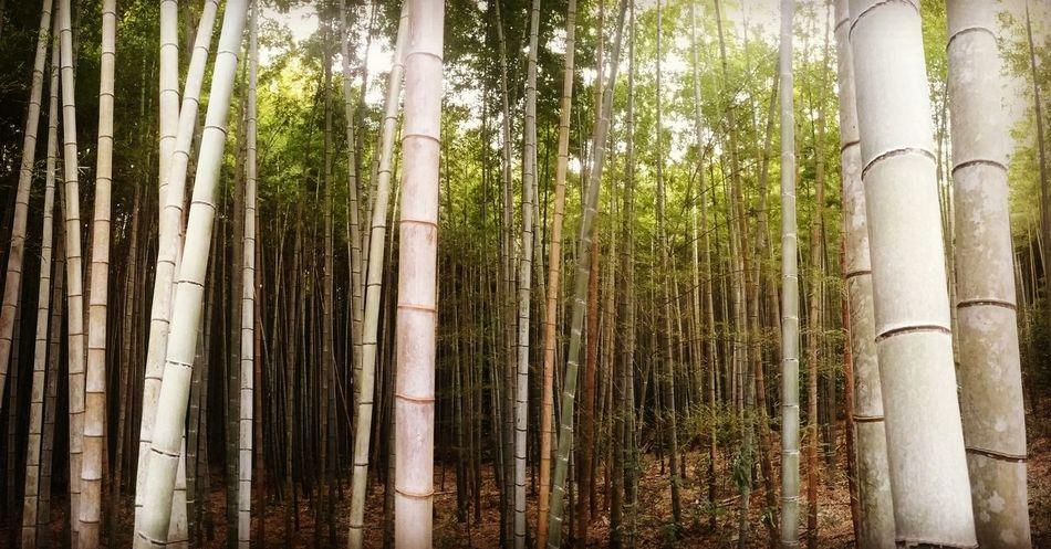 Bamboo Bamboo Forest Forest Japan Kyoto Woods Nature Nature Photography Eyeemphotography Eye4photography  EyeEm Best Shots Photography Photooftheday Traveltheworld NOMAD Travel Destinations Travel Photography EyeEmbestshots Travel ASIA Travelling Travelphoto Green Travelasia