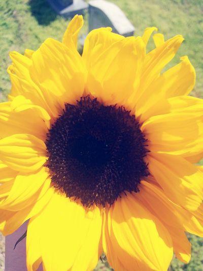 RIP GrandMa Sunflower Gone But Never Forgotten
