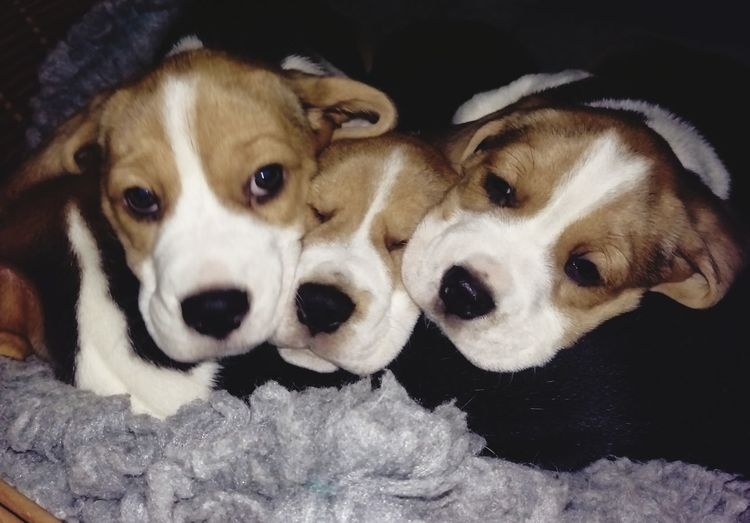 Bunch of beagles Beagle Pets Portrait Dog Looking At Camera Puppy Young Animal Lying Down Cute Close-up