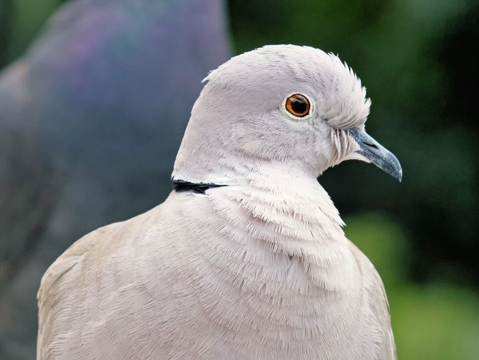 Close-up of collared dove