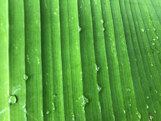 Banana Backgrounds Close-up Day Drop Freshness Full Frame Green Color Leaf Nature No People Outdoors Water Wet
