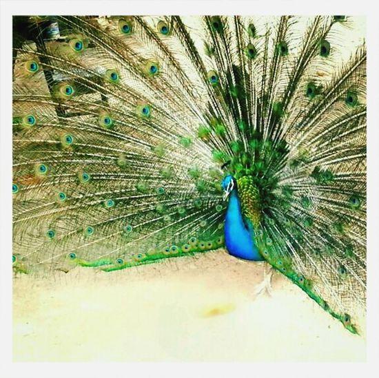 Natural Beauty Peacock Beautiful Colors Magnifique