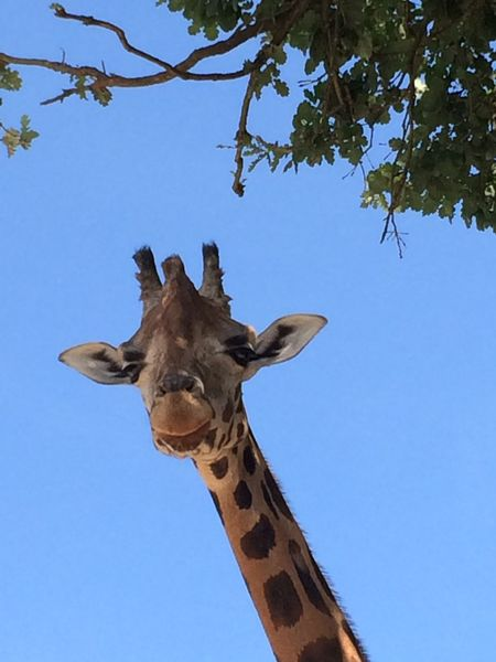 Safari Safari Park Zoosafari Gardalake Lagodigarda Giraffe Giraffes Animals Animal_collection Animal Photography