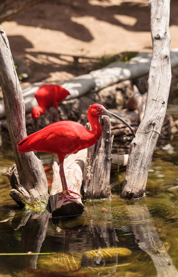Scarlet ibis birds on log at lakeshore