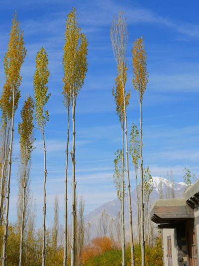 Nature Beauty In Nature Sky Blue Clear Sky Tree No People Poplars Beautiful Mountain View Clear Sky Landscape