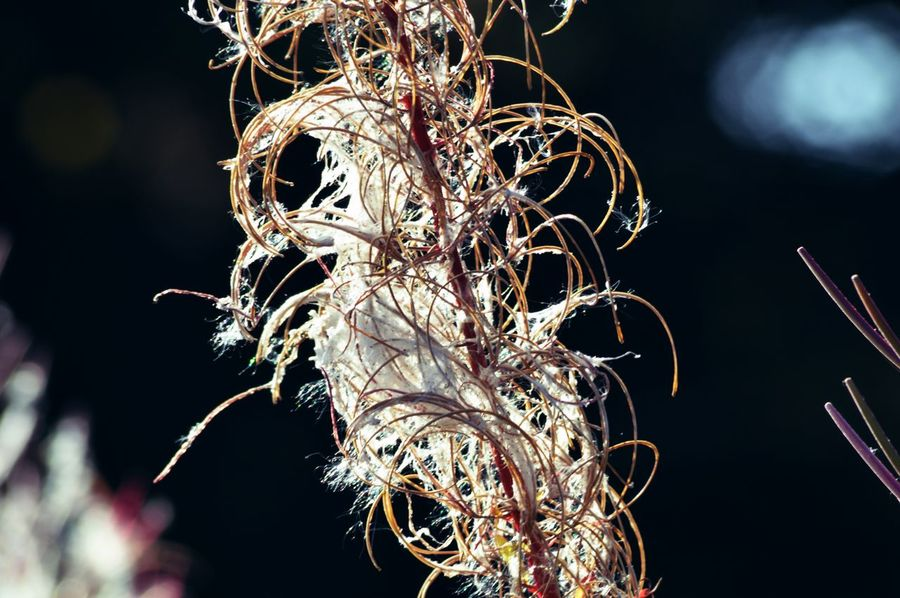 Abstract Black Background Close-up Countryside Detail Dried Plant English Countryside Focus On Foreground Fragility Glowing Growth Hedge Row Illuminated Light Nature Night No People Outdoors Plant Rose Bay Willow Herb Selective Focus Sharp Twig