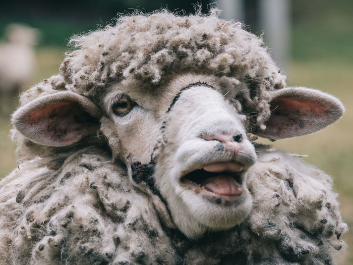 Close-up portrait of a sheep
