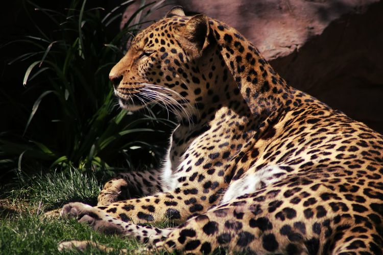 Leopard Cheetah Safari Animals Feline Spotted Authority Animals Hunting Big Cat Animal Markings Threatened Species Endangered Species Vulnerable Species Undomesticated Cat Tiger Lion - Feline Paw Cat Family Carnivora