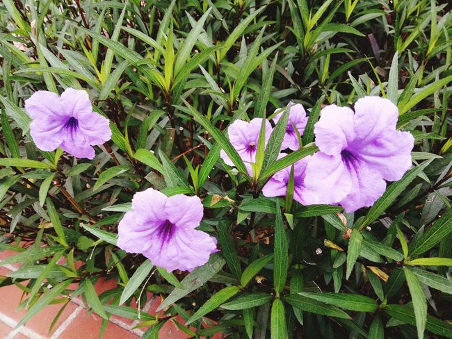 Flower Growth Nature Beauty In Nature Petal Flower Head Fragility No People Plant Day Outdoors Field Blooming Freshness Close-up Periwinkle Petunia