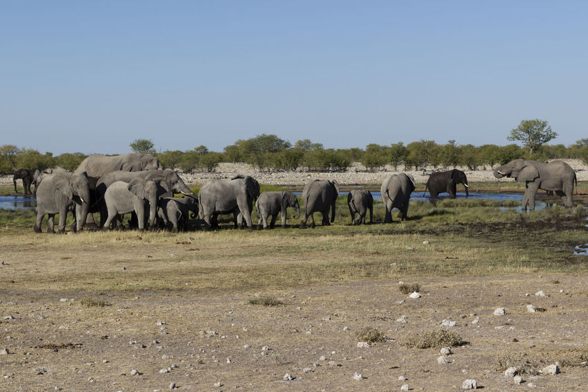 Namibia African Elephant Animal Themes Animals In The Wild Beauty In Nature Day Elephant Elephant Calf Etosha Etosha National Park Grass Grazing Group Of Elephants Landscape Large Group Of Animals Livestock Mammal Nature No People Outdoors Safari Animals Standing Togetherness Waterhole Young Animal