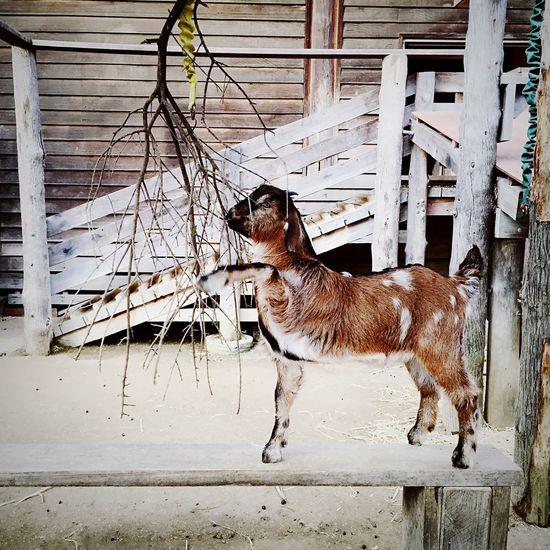 Baaaaaa | Open Edit IPhoneography Vscocam Animals EyeEm Best Shots Zoo Animals  Zoo