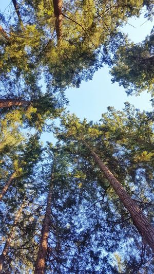 Looking Up Nature Growth Backgrounds Outdoors Beauty In Nature No People Tree Sky Low Angle View Nature British Columbia, Canada Tranquility Forest Trees Peaceful Trees Trees And Sky Rainforest Opening Spring Green Blue Sky Pine Tree Pine Pine Woodland Perspectives On Nature