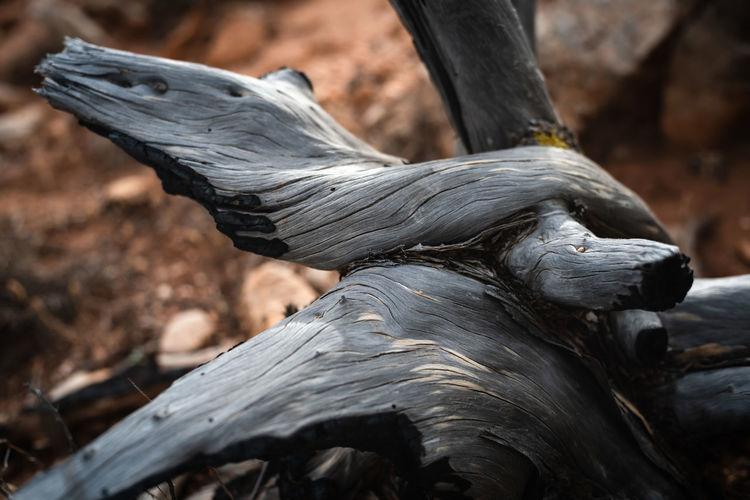 Dead old juniper trunk closeup