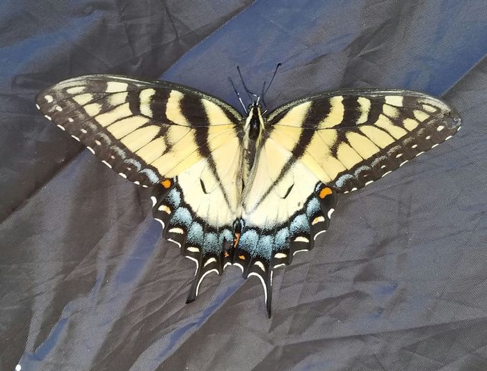 Butterfly - Insect Insect Close-up Animals In The Wild No People Butterfly Animal Wildlife Fragility Day Nature Spread Wings Beauty In Nature Outdoors Camping Camping Trip 💗 Summer Memories 🌄 No Filter, No Edit, Just Photography South Dakota Garretson Palisades Garretson Sd Good Times With Friends Summer 2017 🏊🌞