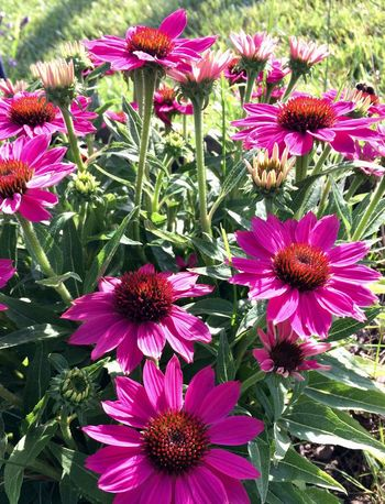 Flower Purple Growth Petal Pink Color Fragility Beauty In Nature Freshness Nature Plant Eastern Purple Coneflower Flower Head Day Outdoors No People Blooming Coneflower Leaf Close-up Osteospermum