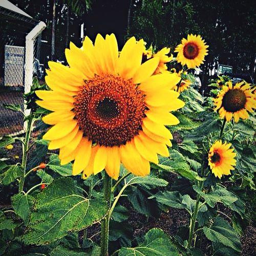 Girassol !!! Girassol Amarelo Flor Sunflower Yellow Now