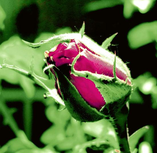 Roses🌹 Theroses No People Flowermacro Flowers Flowers_collection Nature Photography Flowermacros Flower