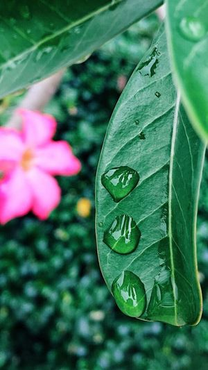[ Macro-drops per minute ] Greenery Macro Nature EyeEm Nature Lover Outdoor Photography Raindrops Macro Photography Textures In Nature Plant Flower Flowering Plant Green Color Close-up Beauty In Nature Freshness Leaf Outdoors