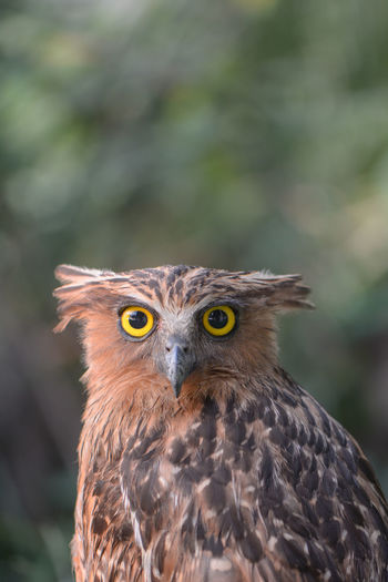 Buffy Fish Owl One Animal Animal Themes Animal Bird Animals In The Wild Bird Of Prey Animal Wildlife Vertebrate Focus On Foreground Close-up Day Looking At Camera Owl Portrait No People Animal Body Part Looking Nature Beak Animal Eye Outdoors Animal Head  Yellow Eyes Eagle