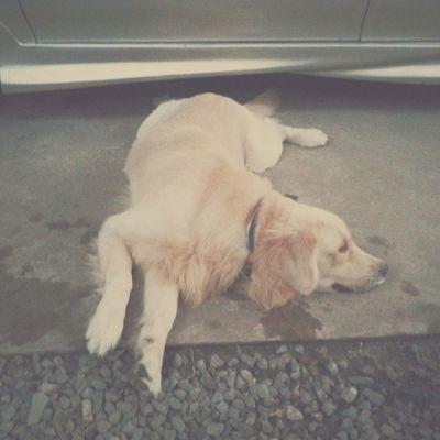ท่ายาก Dog Goldenretriever Pet13