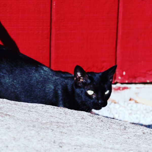 Black cat Black Color Domestic Cat Cat One Animal Feline No People Day Outdoors