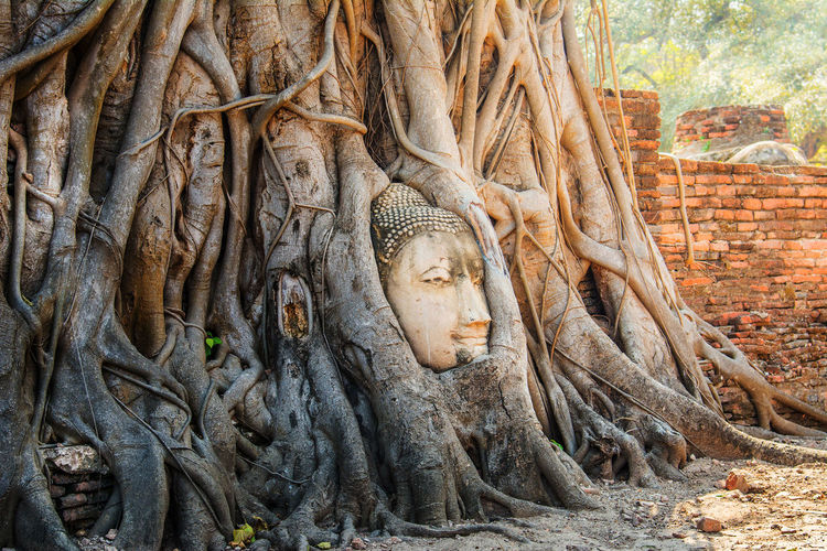 Buddha head in the tree. Buddha Head Old EyeEmNewHere Backgrounds Spirituality Ancient Statue Sculpture No People Day