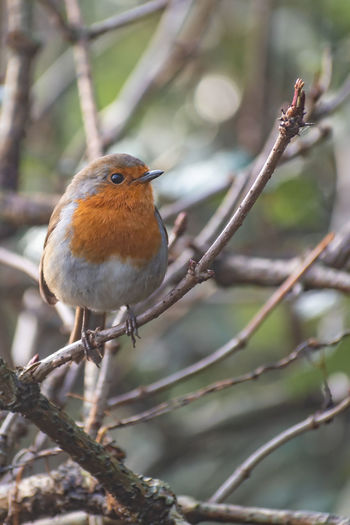 Animal Themes Bird Animal Wildlife Animal Animals In The Wild Branch Tree Nature Robin Robin Redbreast Robin Bird Pair Of Birds Love is in the air Lichen Nature_collection Nature Photography Naturelovers EyeEm Nature Lover EyeEm Nature Collection Birds Birds Of EyeEm  Birds_collection Pair Treeprn