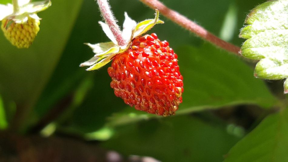 Red Leaf Plant Nature No People Close-up Growth Outdoors Freshness Day Flower Fruit Green Color Beauty In Nature Food Wild Strawberries Wild Strawberry Malephotographerofthemonth