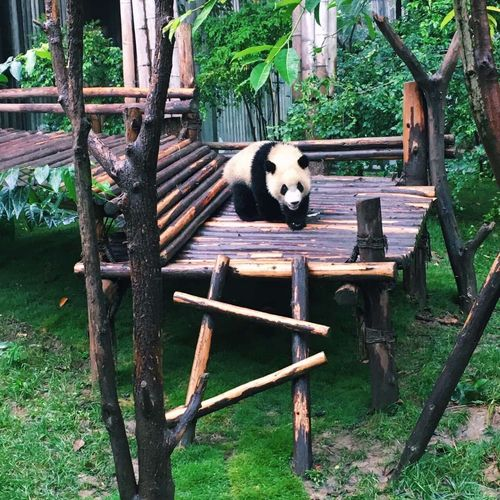 Animal Themes Tree Trunk One Animal Tree Pets Mammal Domestic Animals Full Length Relaxation Front View Growth Outdoors Zoology Day Resting Panda