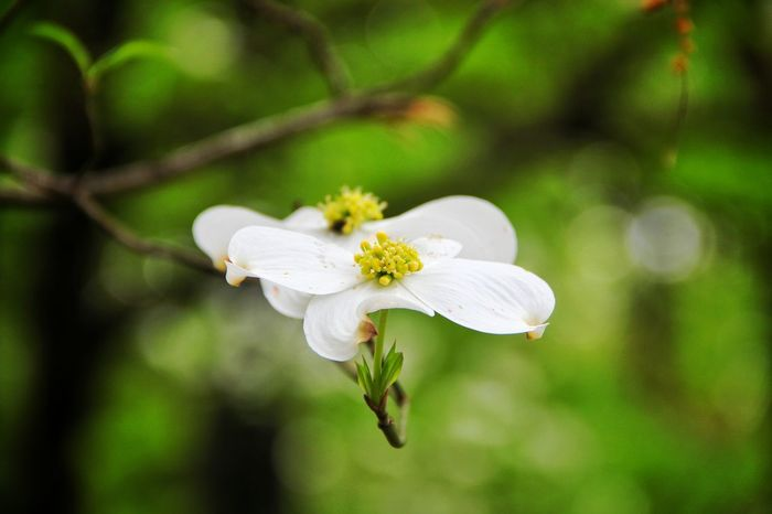 Dogwoods are blooming EyeEm Nature Lover EyeEm Best Shots - Nature EyeEm Best Shots - Flowers Nature Photography Flower Collection Dogwood Dogwood Blossom Travel Photography Outdoor Photography Nature_collection Taking Photos Macro Macro_collection Macro Photography