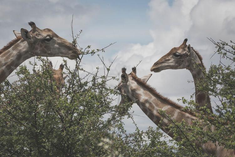 Animal Themes Animals In The Wild Cloud - Sky Eating Family Giraffe Mammal Outdoors Safari Animals Sky