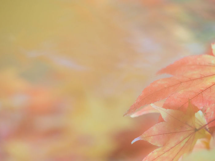 Autumn Leaf Plant Part Close-up Plant Change Focus On Foreground Beauty In Nature Nature Day No People Orange Color Growth Fragility Maple Leaf Vulnerability  Outdoors Selective Focus Tree Leaf Vein Leaves Natural Condition Fall