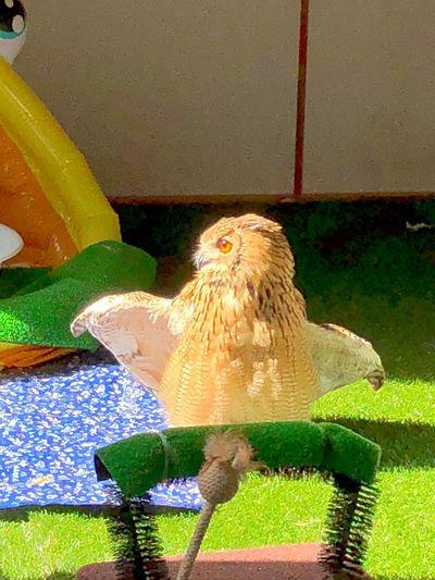 ひなたぼっこ 羽根 幸せ Owl 光 やさしい 幸福 やわらかい 特別 猛禽類 モデル 静寂 芸術 自然 魅力的 Rock Eagle Owl ベンガルワシミミズク フクロウ 瞳 No People Nature Animal Wildlife Day Bird