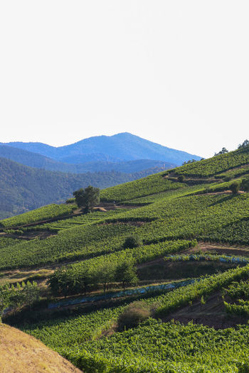 Vineyards at Turckheim Alsace Agriculture Beauty In Nature Clear Sky Copy Space Day Environment Field Green Color Growth Land Landscape Mountain Nature No People Outdoors Plant Plantation Rural Scene Scenics - Nature Sky Tranquil Scene Tranquility Vineyard