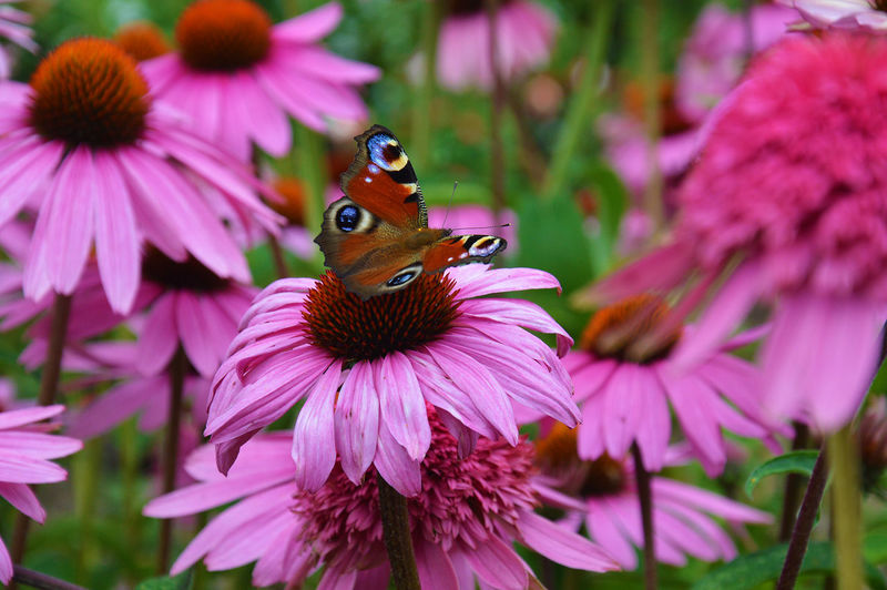 Close-Up Of Butterfly On Eastern Purple Coneflowers
