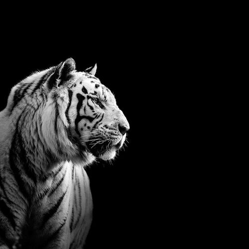 Close-up of tiger looking away against black background