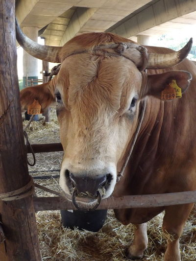 Animal Animal Head  Animal Themes Brown Close-up Cow Day Domestic Animals Herbivorous Outdoors No Filter, No Edit, Just Photography