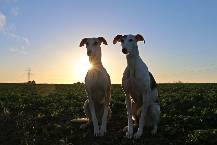 two beautiful galgos sitting on a field in the sunset EyeEm Pets Galgo Galgo Español. Animal Themes Beauty In Nature Dog Domestic Animals Eyeem Sunset-sunrise Field Galgo Espanol Galgoespañol Landscape Nature No People Outdoors Pair Pets Sighthound Sighthounds Sun Sunset Togetherness Two Animals Windhund Windhunde Fresh On Market 2017
